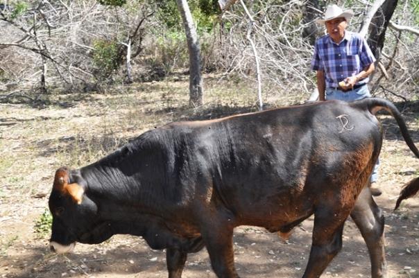Becerro marcado Jorge Ricardo Cordero (JRC) de regreso al corral